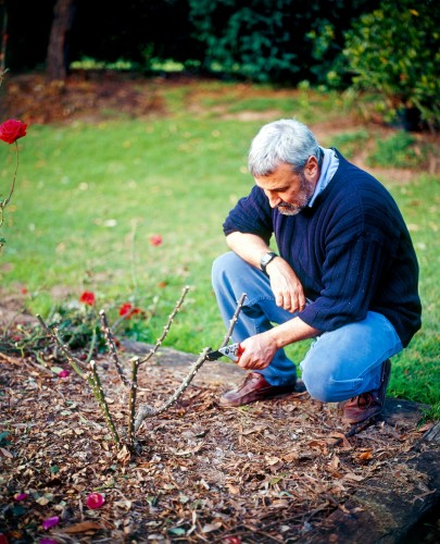 Don's Tips: Summer Pruning Roses