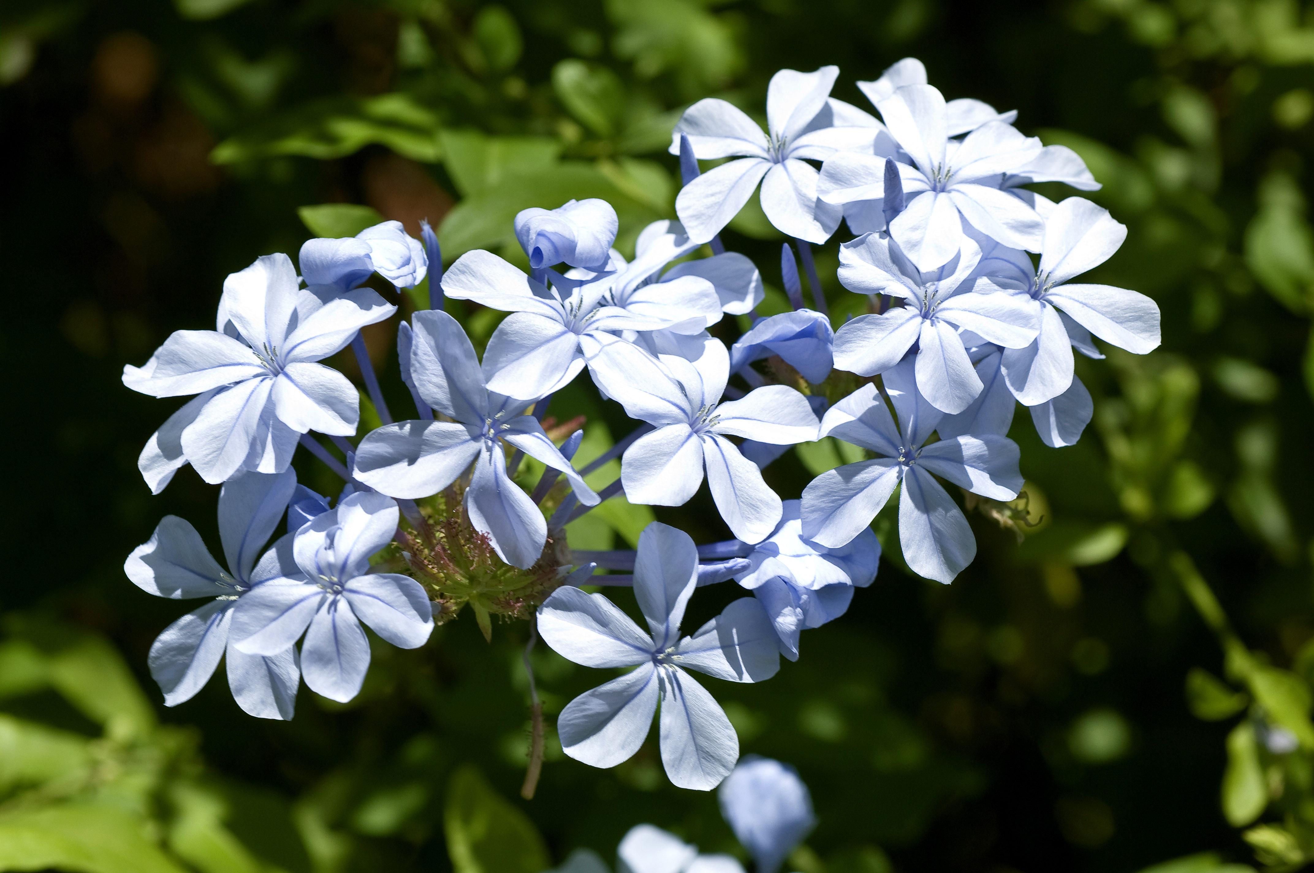 Don burke archives page 7 of 13 burke 39 s backyard for Blue flowering bush
