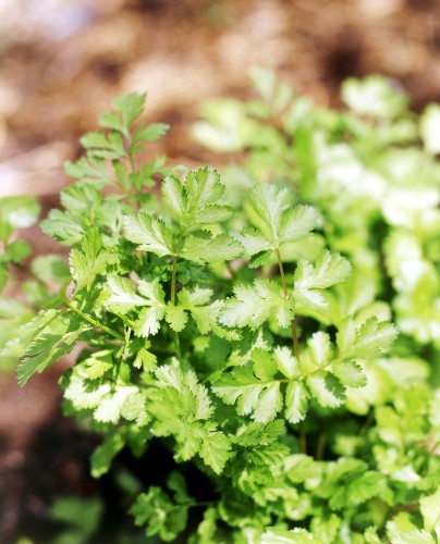 Don's Tips: Coriander