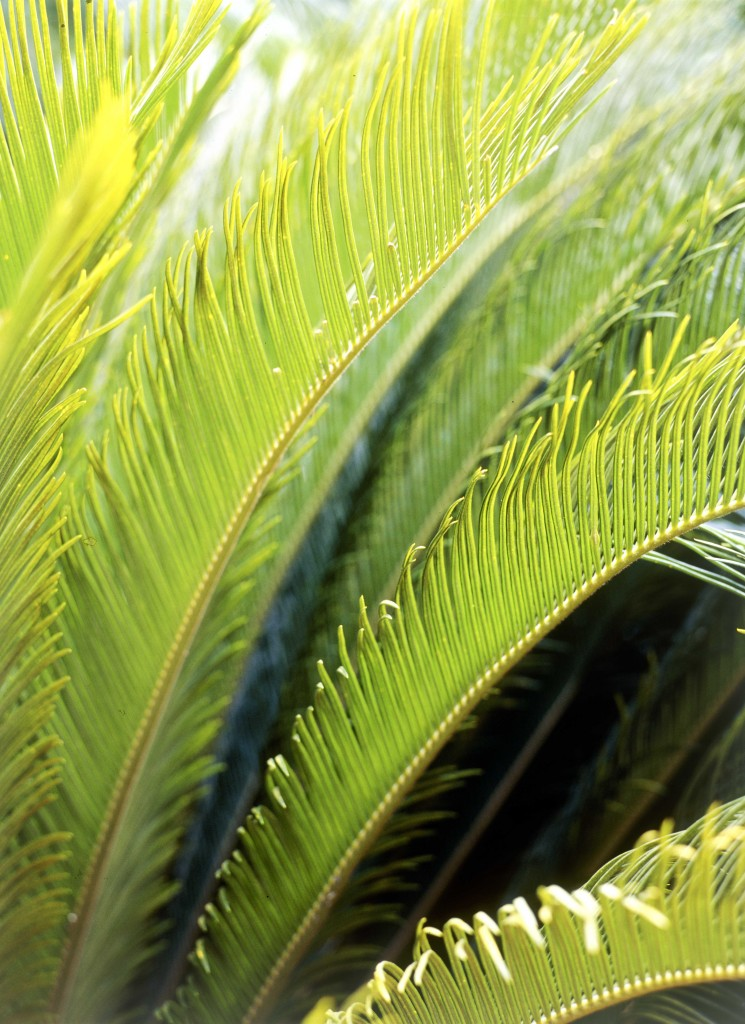 Don's Tips: Cycads