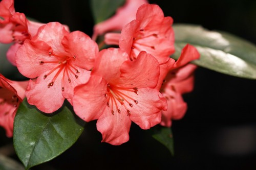 Don's Tips: Rhododendrons