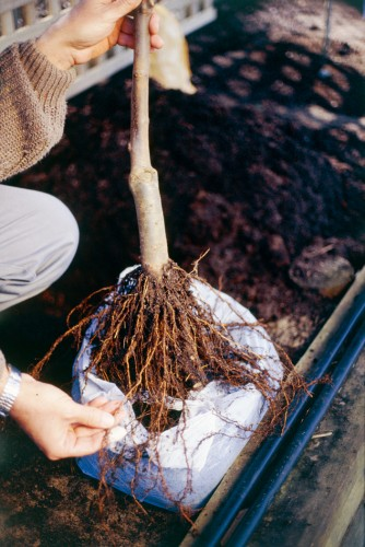 Don's Tips: Bare Rooted Plants