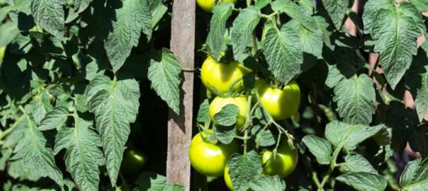 Giant Tomato Bushes - large fruiting tomato plants