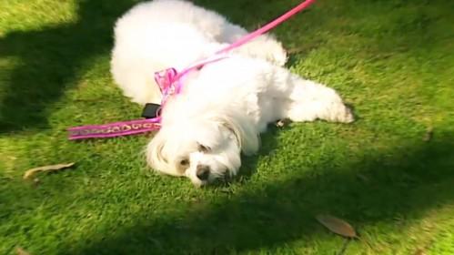 Moody Maltese Dog