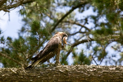 Don's Tips: Preserving Native Birds