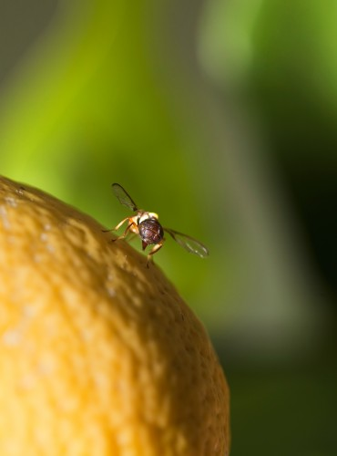 Organic Fruit Fly Control