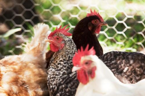 Pecking Orders