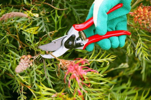 Don's Tips: Pruning Grevilleas