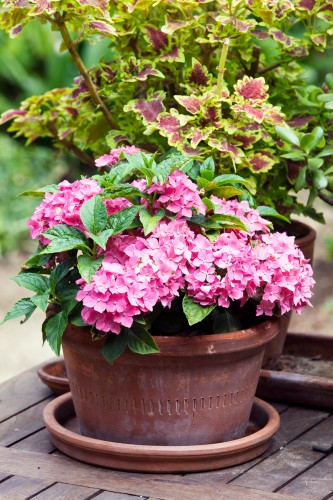 Don's Tips: Dwarf Hydrangeas