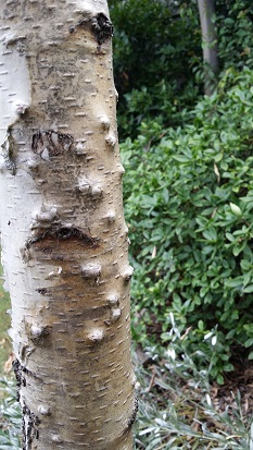Bumps/lumps appearing on my Silver Birch tree