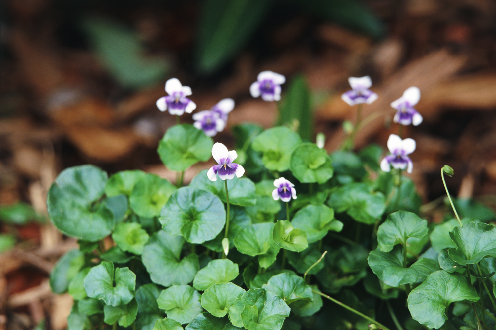 Don's Tips: Australian Native Violet