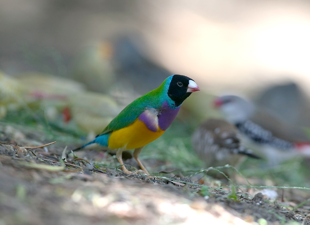 Don's Tips: Gouldian Finches