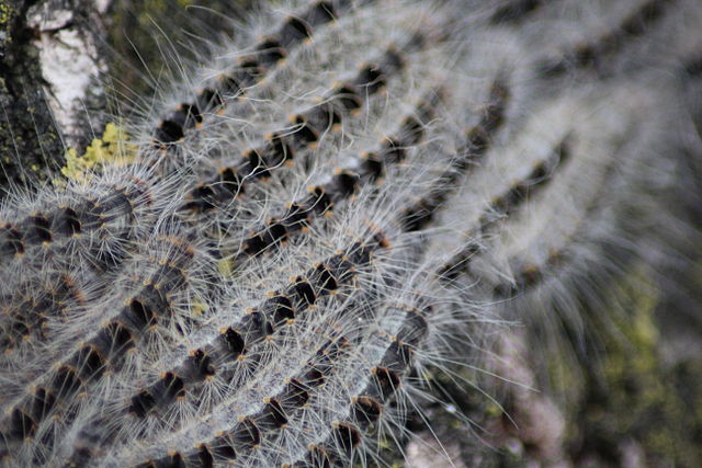 Don's Tips: Processionary Caterpillars