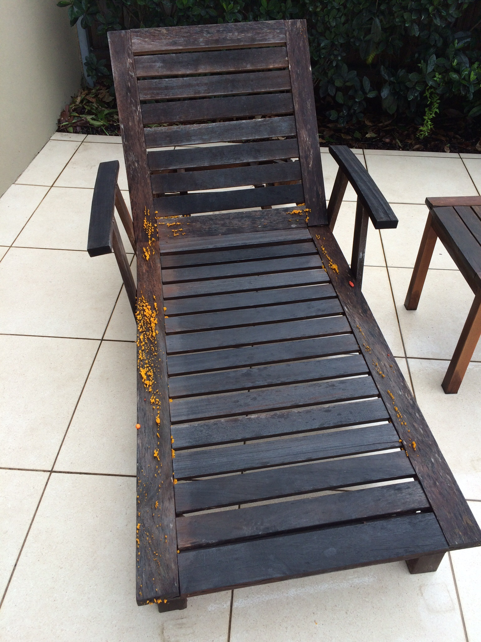 Orange Fungus Appears On Wooden Chairs After Rain