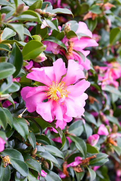Don's Tips: Sasanqua Camellias