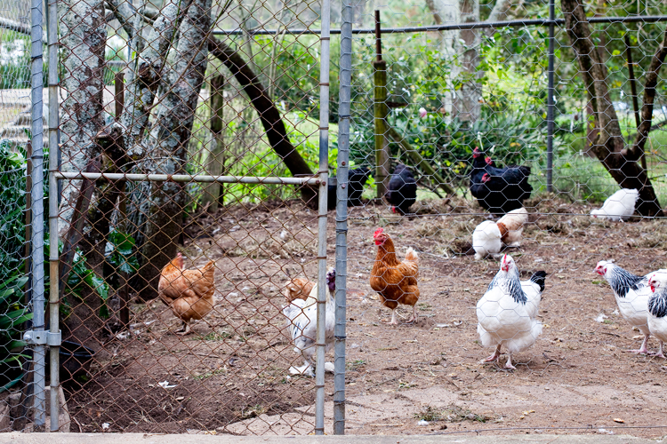 Don's Tips – Fox-Proofing The Chooks