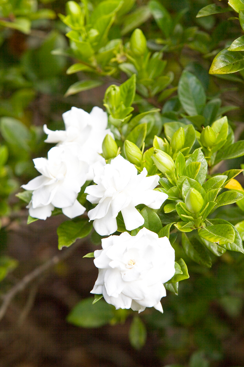 how to grow a gardenia bush