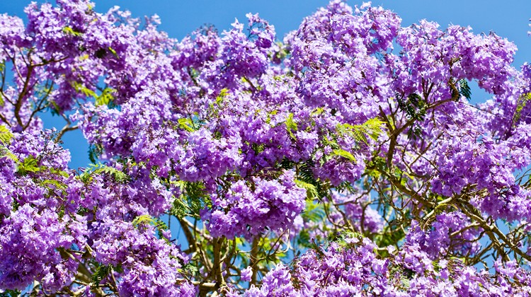 Jacaranda Flowers in full bloom