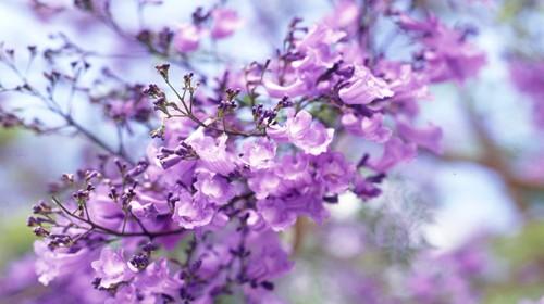Close up of Jacaranda petals in full bloom