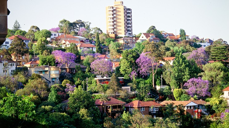 Jacarandas amongst houses in a suburb