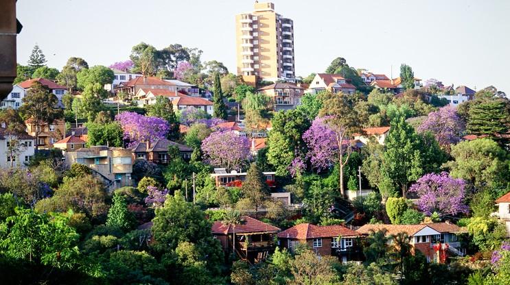 Jacarandas amongst houses in a suburb