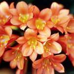 Don's Tips: Clivias