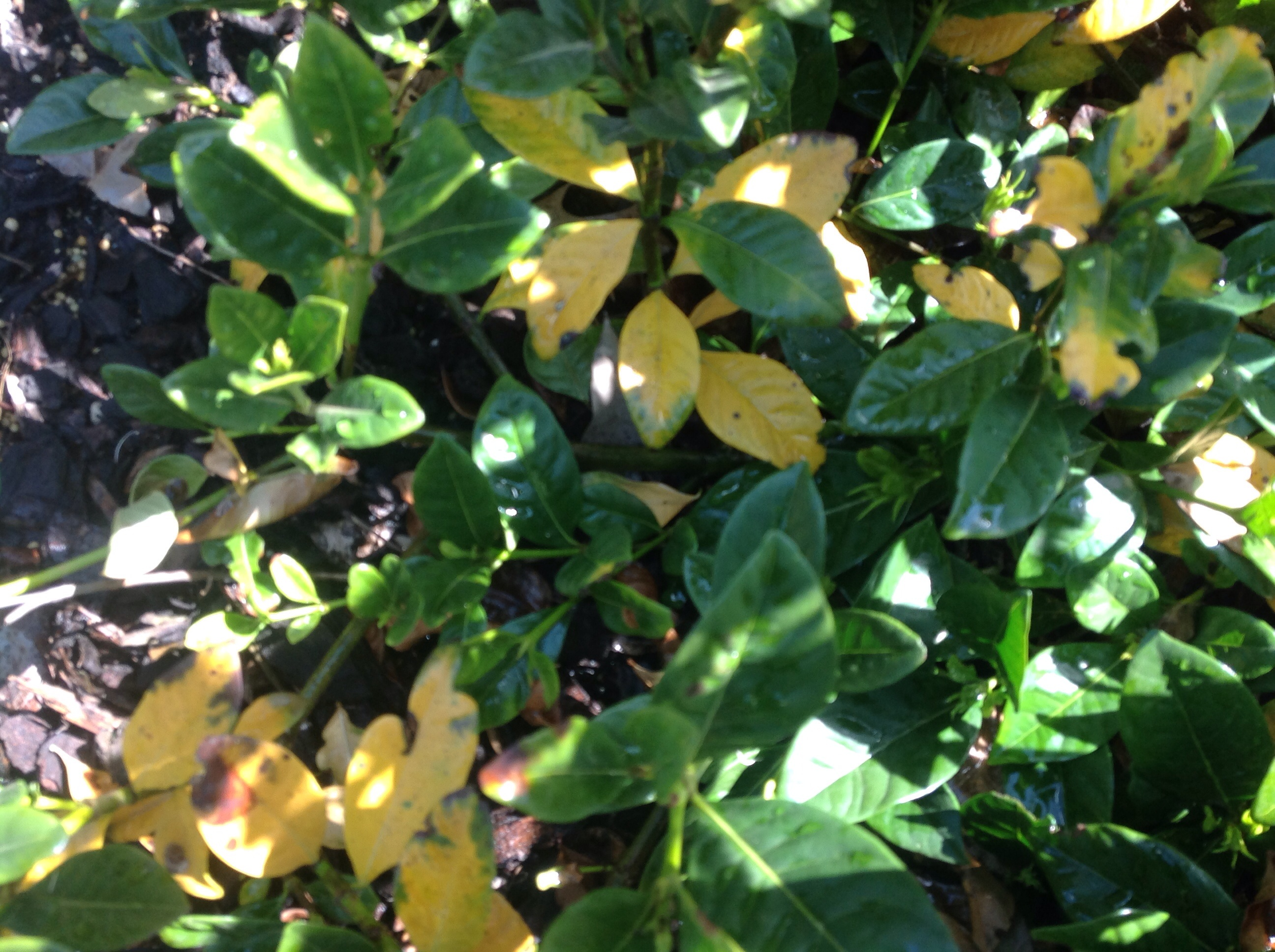 Yellowing of Leaves