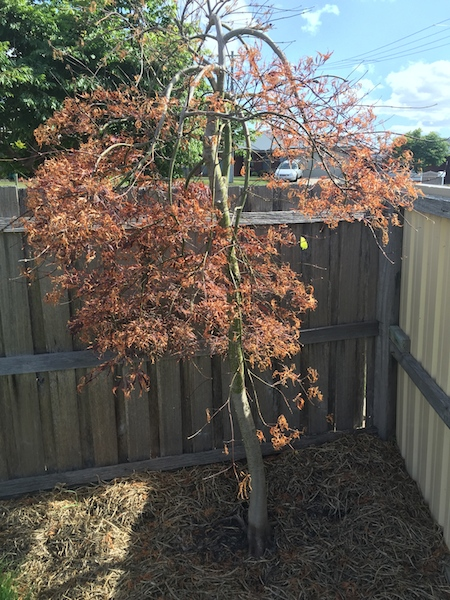 Don's Expert Answers:  Japanese maple planted one year ago and new leaves falling off