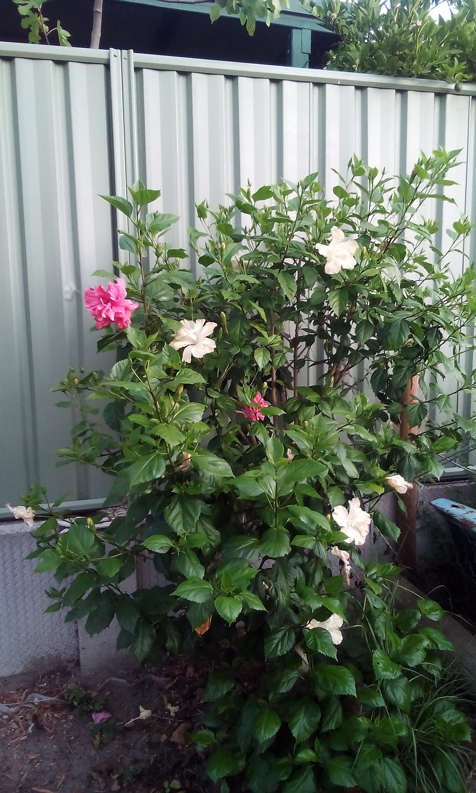 Don's Expert Answers:  plant has 2  colour flowers of the main stem, its around 20 years old the plant