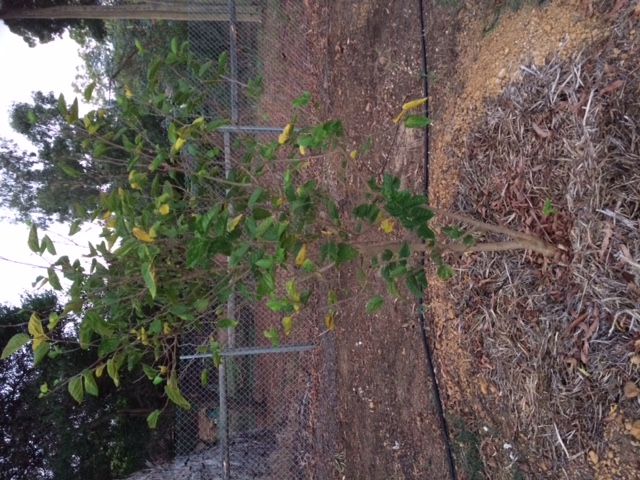 Don's Expert Answers:  Mulberry tree has yellow leaves and has slowed in growth, has dropped fruit since arriving to this subburb. Currently renovating and therefore there is a large pile of limestone 2metres from tree. it was transplanted two years ago and was growing rapidly prior to moving.