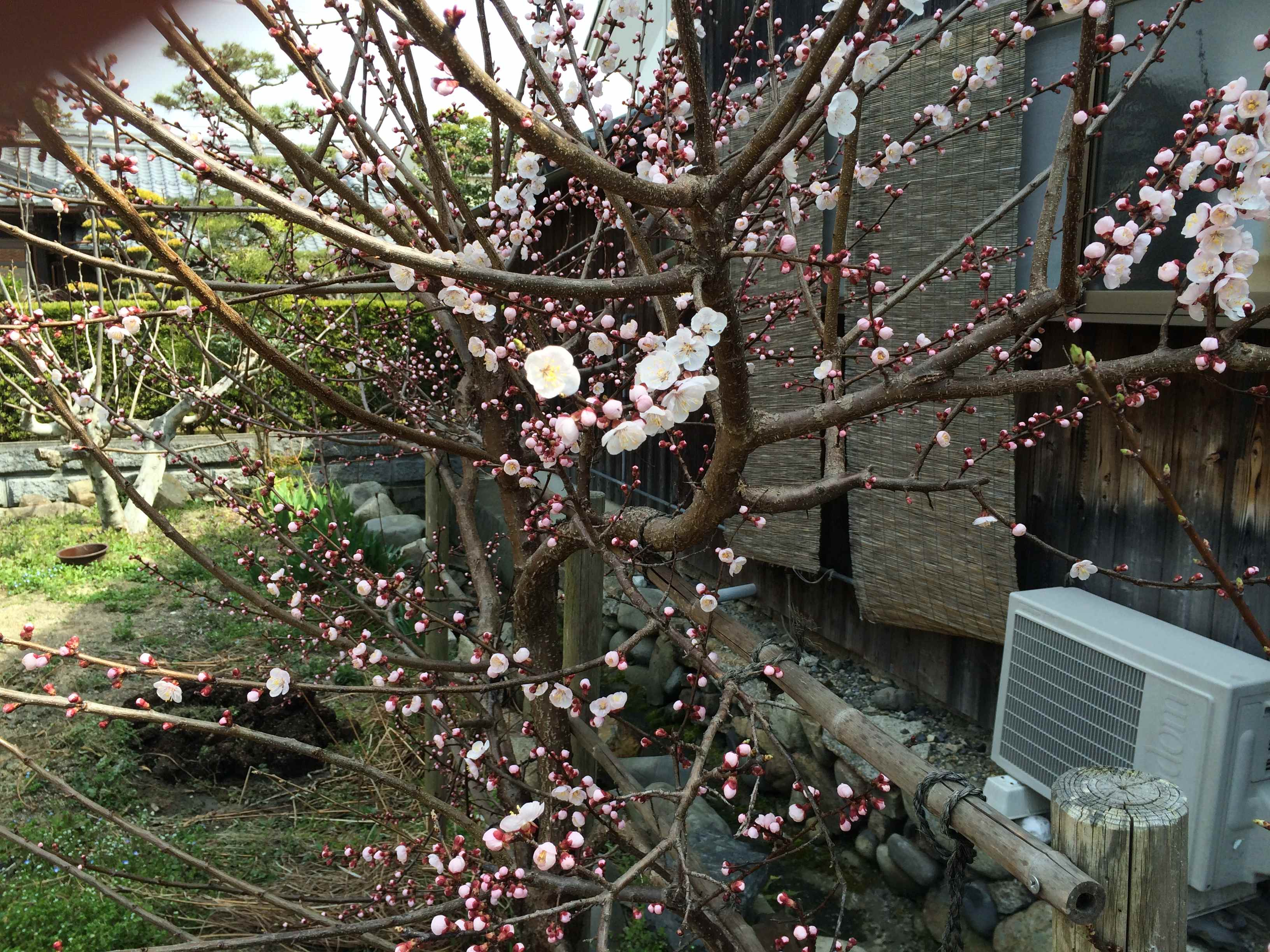 Don's Expert Answers:  my apricot tree is about 7 years old and gets covered in flowers but doesn't fruit
