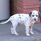 Dalmatian Dog - Burke's Backyard