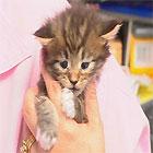 Main Coon Kitten in hands