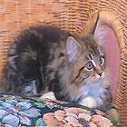 Main coon kitten on chair
