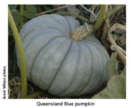 how to cook queensland blue pumpkin