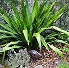 Gymea Lily Doryanthes Spear Lily Burke S Backyard