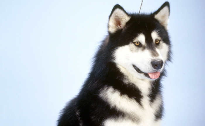 Pictures Of Alaskan Sled Dogs