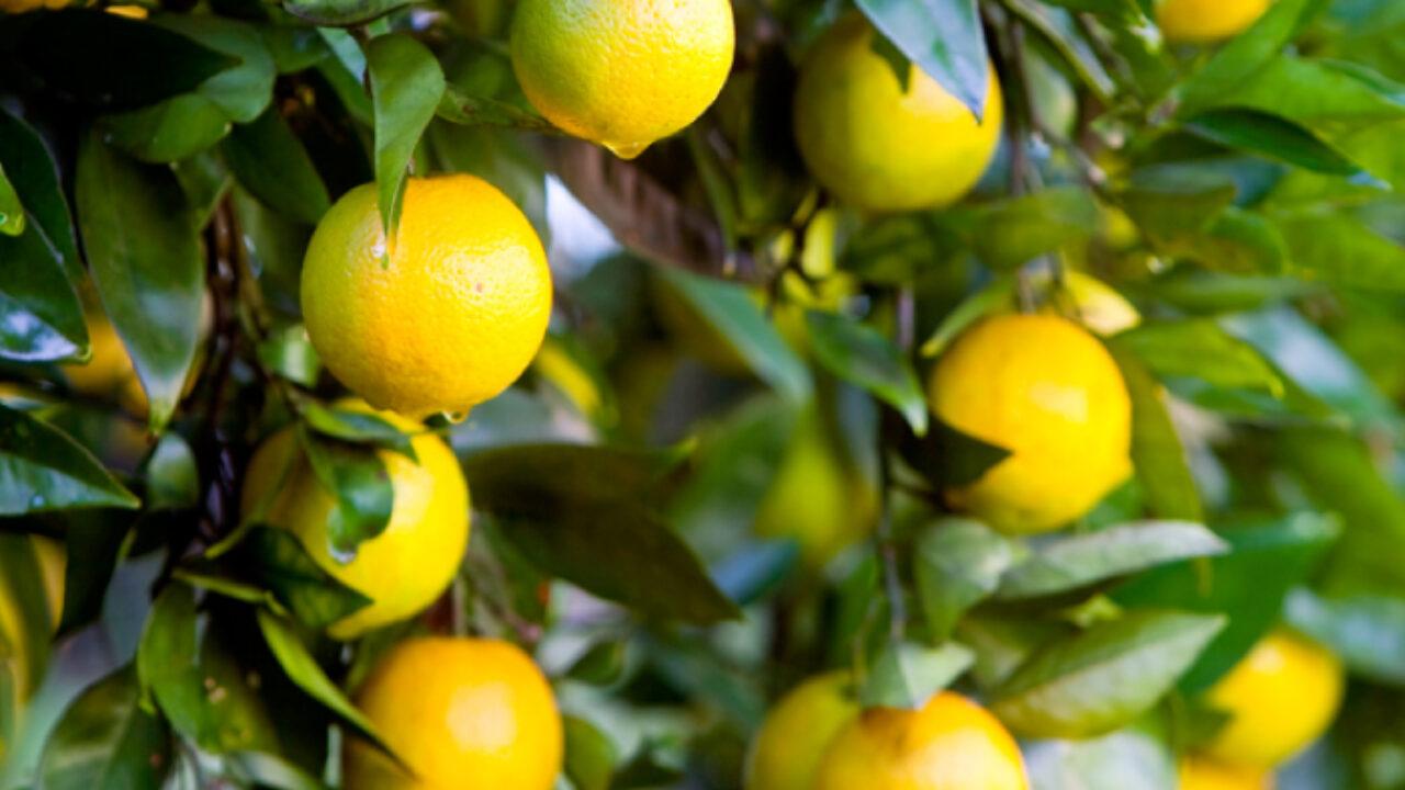 Best Backyard Citrus Burke S Backyard
