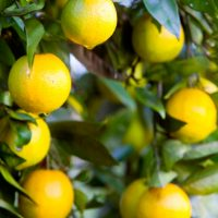 Don's Expert Answers: My oranges this year were smaller than usual and had a black fungus or something on the skin.  They were still delicious.  What do I need to do to alleviate this for next season?