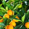 Cumquats on the tree