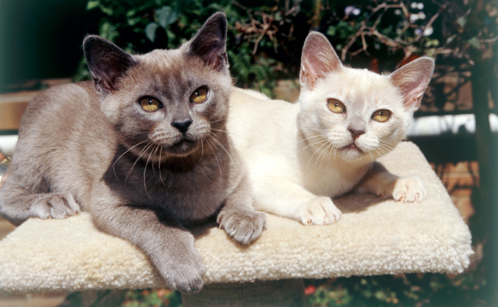 Burmese cat society of australia