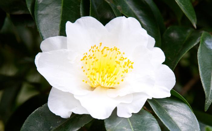 Camellias Burke S Backyard