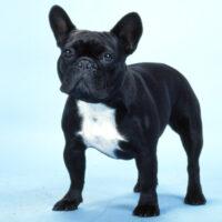 French Bulldog   Frenchie Road Test