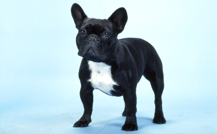 French Bulldog Frenchie Road Test Burkes Backyard