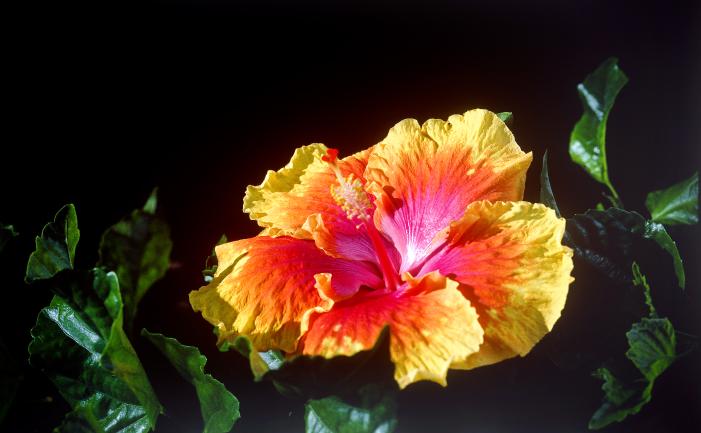 Hibiscus Burkes Backyard