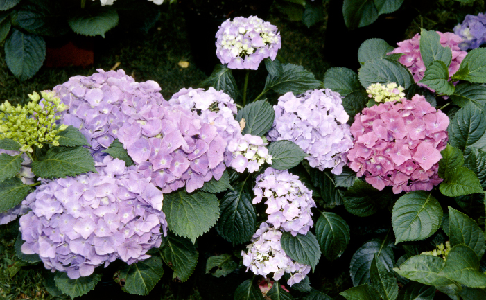 Multi-coloured hydrangeas