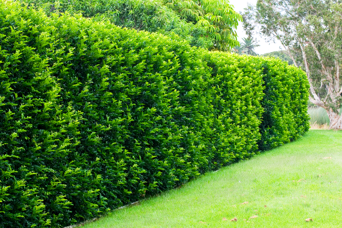 Murraya Hedge Burke 39 S Backyard