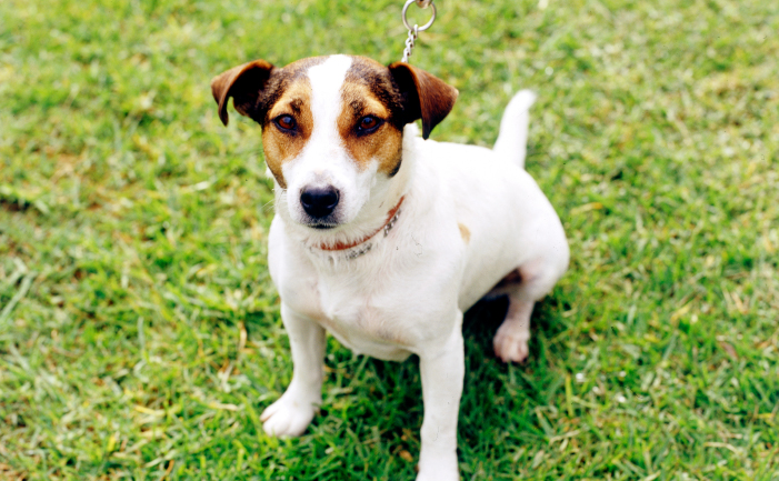 Clothes For jack Russell Should Bring Enough Comfort and a Fantastic Look For Your Pet!