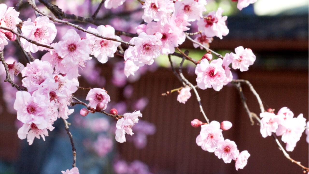 Japanese Cherry Blossom Burke S Backyard