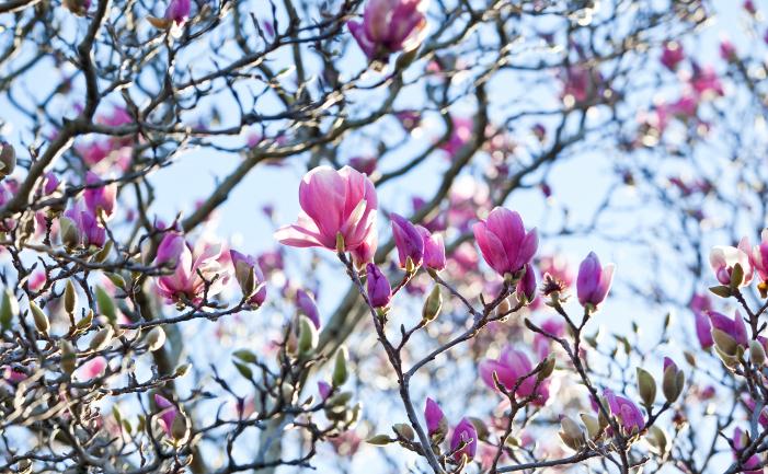 Magnolias Burkes Backyard